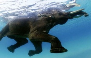 elephant floating